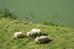 moutons_1