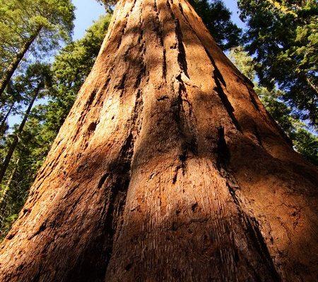 Sequoia, symbole de vie éternelle
